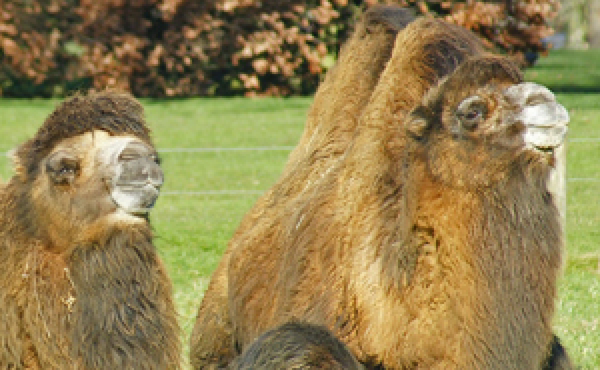 Camels at Costwold Wildlife Park